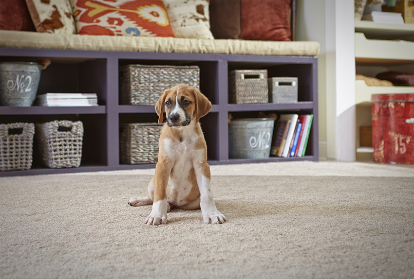 Coles Fine Flooring | wool carpet for pet owners