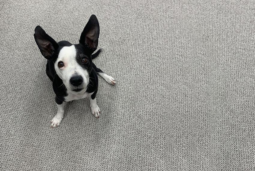 Coles Fine Flooring | Sophie the terrier mix